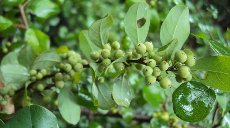 Guggulsterone-Commiphora-Mukul
